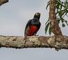 IMG_7557 (jaglazier) Tags: 121717 2017 animals birds capok copyright2017jamesaglazier december deciduoustrees ecuador napowildlifepreserve naturepreserves orellana trees parks orellanaprovince