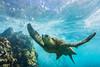 turtle7Nov19-17 (divindk) Tags: cheloniamydas hawaii hawaiianislands honu maui underwater diverdoug endangeredspecies greenseaturtle marine ocean reef sea seaturtle turtle underwaterphotography