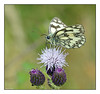 Marbled white (Graham Pym) Tags: nikon wings proboscis palp antennae marbled white flora meadow
