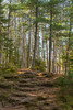 Pine Forest 1s (Greg Riekens) Tags: stone path usa amniconfallsstatepark pine nikond500 pineneedles strairs steps midwest wisconsin forest hiking trail autumn fall stonestairs amnicon statepark pinetrees
