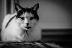 Cat (Phil Roeder) Tags: desmoines iowa cat blackandwhite monochrome canon6d canonef50mmf18