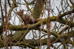 Sur un arbre perché...! (minelflojor) Tags: écureuil arbre zoom branches lichen poil froid hiver surveillance squirrel tree hair cold winter