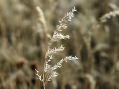 Curvy Standout (Robert Cowlishaw (Mertonian)) Tags: photophari canonpowershotg1xmarkiii markiii g1x powershot canon robertcowlishaw mertonian wilderness field macro simplicity curvy grass golden
