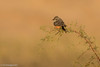 Vermilion Flycatcher (female) (Michael J Porter) Tags: arizona bird birds cocopah december nature outdoor wildlife yuma