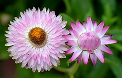 Pink Strawflower Duo (Pat's Pics36) Tags: nikond7000 nikkor18to200mmvrlens usa washington semiahmoo packersresort strawflower pink two