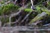 White-throated dipper II (Laima B.) Tags: whitethroateddipper cincluscinclus dipper water ouzel river stream bird birdphotography birdwatching beautiful birding birdlover biologist nature naturelover naturelife swedishnature sweden sverige sverigesnatur gothenburg goteborg jonsered canon canon600d 55250 winter wild widllife natureenthusiast