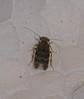 Micro moth mimic micro caddis-fly Hydroptilidae Tricoptera Airlie Beach rainforest P1130610 (Steve & Alison1) Tags: micro moth mimic caddisfly hydroptilidae tricoptera airlie beach rainforest 3mm