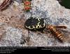 Harlequin Flower Beetle (Scarabaeidae, Gymnetis caseyi (Antoine)) (insectsunlocked) Tags: coleoptera scarabaeidae cetoniinae gymnetiscaseyi gymnetis gcaseyi harlequinflowerbeetle beetle insectsunlocked santillanaale