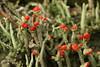 Cladonia sp. (Björn S...) Tags: cladoniasp flechte lichen lichene