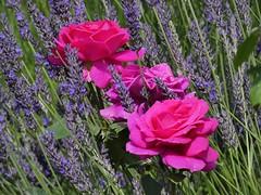 Harmonie (libra1054) Tags: harmonie harmony armonia harmonia armonía rosen roses rosas lavender lavanda lavande lavendel blumen flores fiori flowers fleurs flora outdoor