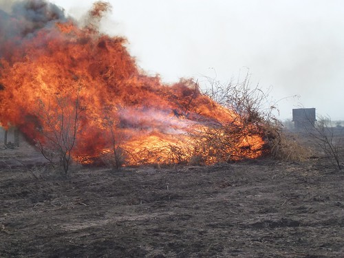 Prosopis juliflora burnt once cleared as part of local rangeland management activities