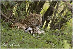 The Elusive Queen! (MAC's Wild Pixels) Tags: theelusivequeen leopard femaleleopard pantherapardus spottedbeauty spottedpussy animal wildlife mammal africanwildlife outdoors wildafrica safari wildanimal outofafrica gamedrive carnivore hunter predator beautifulpussy cat wildcat bigpussycat masaimara maasaimaragamereserve kenya macswildpixels chui ngc npc coth coth5