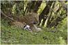 The Elusive Queen! (MAC's Wild Pixels) Tags: theelusivequeen leopard femaleleopard pantherapardus spottedbeauty spottedpussy animal wildlife mammal africanwildlife outdoors wildafrica safari wildanimal outofafrica gamedrive carnivore hunter predator beautifulpussy cat wildcat bigpussycat masaimara maasaimaragamereserve kenya macswildpixels chui ngc npc