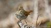 Hermit Thrush (Bob Gunderson) Tags: birds california catharusguttatus hermitthrush northerncalifornia sanfrancisco sutroheights thrushes