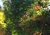 Metochi Kykkou Gardens  (35) (Polis Poliviou) Tags: environment relax relaxing calming cyprus life living enjoyable colour colourful mediterranean travel walking trekking rural countryside agricultural winter flowers plant floral flora winterblossom botany bulbs landscape green white wallpaper herbs naturepics naturephotography beautyinnature cyprustheallyearroundisland cyprusinyourheart yearroundisland zypern republicofcyprus κύπροσ cipro кипър chypre ©polispoliviou2018 polispoliviou polis poliviou πολυσ πολυβιου metochikykkoy kykkos olive monastery christianity