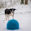 the important business continues, despite the weather! (grahamrobb888) Tags: nikon nikond800 d800 nikkor nikkor20mmf18 winter white woods wideangle cold snow snowwoods birnamwood birnam perthshire scotland quiet tranquil zac dog pet ball blue fun furry busy whatido