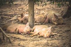 Post-prandial nap (Shutterbytes by Michele Hamilton) Tags: australia christmastree december2014 gunnsplains tasmania animals family idle nature pig porkers sleeping relaxed