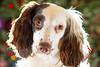 Rupert (TrevKerr) Tags: dog d3s nikon portrait spaniel springerspaniel sb900 yongnuoyn622n yongnuoyn685