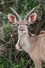 Young male Greater kudu (Tragelaphus strepsiceros) with wire snare around its neck (Dave Montreuil) Tags: africa greater tragelaphus african animal east injured kudu malawi male mammal neck poacher snare south strepsiceros trap wire young