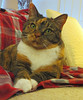 Gracie hopes... (19 December 2017) 8070Ri 5x6 (edgarandron - Busy!) Tags: cat cats kitty kitties tabby tabbies cut feline gracie patchedtabby