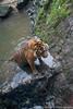 Lookout (deveronclarijs) Tags: animals animal blijdorp dierentuin dieren dier diergaarde d5300 nederland nl nikon nikond5300 rotterdam zoo tijger tiger cat kat