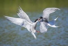 Common Terns fighting (ianrobertcole1971) Tags: wwt common terns washington wildfowl wetlands bird fight fighting fishing