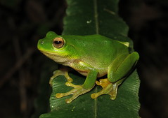 Mountain Stream Frog (Litoria barringtonensis) (Heleioporus) Tags: mountain stream frog litoria barringtonensis midnorth coast new south wales