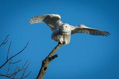 Snowy Owl............ (photodawg2008) Tags: snowyowl wildlife owls birdsofprey nature ohiowildlife ruralohio