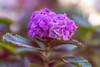Purple blossom (Hanna Tor) Tags: natureplantflowermacrocolorgardenlightpetalsvividbokeh natureplantflowermacrocolorgardenlightpetalsvividbokehdepthoffieldbeautyhannatorsonysigmacalifornialosangeles garden hannator petals purple bokeh color bloom blossom sony sony7rm3