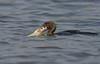 When Both Eyes Met... (Anirban Sinha 80) Tags: nikon d610 fx 500mm f4 ed vrii n g 2xtciii fish bird cormorant bokeh water