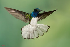 White-necked Jacobin (Florisuga mellivora) in flight (Chris Jimenez Nature Photo) Tags: vegetation fulllenght sarapiqui tail rainforest lowlands chrisjimenez tropics leastconcern inflight spread action centralamerica colibrie foraging florisugamellivora colibri flight hummingbirdphotography costarica bird whiteneckedjacobin wings fly hummingbird frontview tropical oneanimal