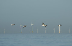 Fly past (Gill Stafford) Tags: gillstafford gillys image photograph wales northwales conwy wind power turbine gulls birds electricity pensarn beach