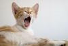 . (c.dreyse) Tags: gato cat sleep bostezo rayado chat yawn