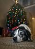 unimpressed (mgstanton) Tags: christmas diego dog flash tree christmastree bokeh seasonal holiday lights
