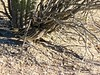 Camouflaged Road Runner-20 (Chic Bee) Tags: roadrunner bird sabinocanyon nature naturewalk catalinamountains tucson arizona southwesternusa americansouthwest america interesting camouflage shadow