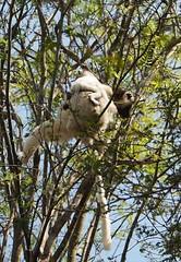 Up & at it (LeftCoastKenny) Tags: madagascar zombitsevohibasianationalpark day11 lemurs trees