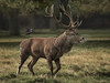 Following the stag (Barrie Brown LRPS) Tags: bushypark reddeer stag nature mammals nativemammals wildlife bpstrips