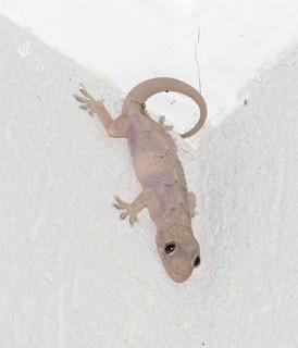 Lagartixa (Lizard)
