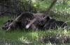 Bear Mother and Cubs (Patrick James Colorado) Tags: yellowstone yellowstonenationalpark ynp rockymountains nature nationalparks wildlife grizzlybear bear grizzlybears bearcubs cubs baby babies brownbear nikond810 d810