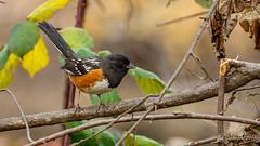 Spotted Towhee (Bob Gunderson) Tags: birds california centralvalley lakesolano northerncalifornia pipilomaculatus solanocounty sparrowsjuncostowhees spottedtowhee towhees