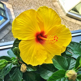 Belleville Ontario - Canada - Beautiful Yellow Hibiscus with focus on Stamen and Pistil