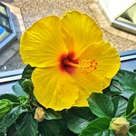 Belleville Ontario - Canada - Beautiful Yellow Hibiscus with focus on Stamen and Pistil thumbnail