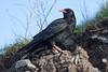 Chough (Shane Jones) Tags: chough bird corvid wildlife nature nikon d500 500mmf4