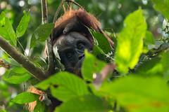 Sumatran orangutan (Pongo abelii), Gunung Leuser National Park (tik_tok) Tags: sumatranorangutan pongoabelii gunungleusernationalpark orangutan ape wild criticallyendangered nature outside forest rainforest sumatra indonesia