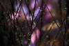 La naissance des couleurs (david49100) Tags: nikon d5100 arbuste 50mm écouflant maineetloire octobre 2017