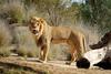 Ernest (greekgal.esm) Tags: africanlion lion bigcat cat feline animal mammal carnivore lioncamp ernest sandiegozoosafaripark sandiegozoo safaripark escondido sandiegozooglobal sdzglobal sdzsafaripark sony rx10m3 rx10iii