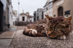 • The Guard (LauLópez) Tags: cat gato animal cementerio cementery sleep dormir descansar rest graves tombs bench tumba death muerte end fin colours colores paws patas nikon