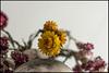 flores para esperar el 2018 (pilaraf14) Tags: siemprevivas contrapicado enfoqueselectivo dof everlasting lowangle
