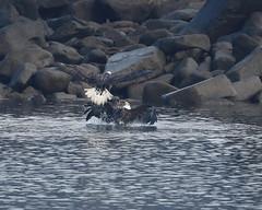 Splash Down (ftherit) Tags: bald eagles fight flight fishing conowingo dam darlington maryland susquehanna river chesapeake bay canon 1dx ii 600mm