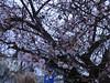 Zierkirsche , NGID1798085478 (naturgucker.de) Tags: ngid1798085478 naturguckerde nauheim cshimmurayoshiyuki